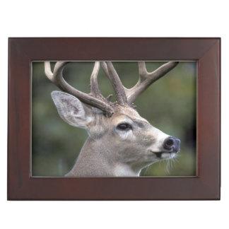 NA, USA, Washington State, White-tailed deer, Keepsake Box