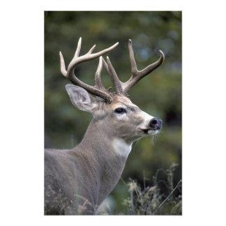 NA, USA, Washington State, White-tailed deer, Photo Print