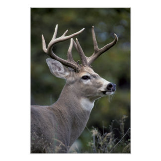 NA, USA, Washington State, White-tailed deer, Poster