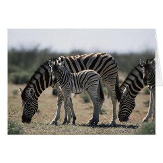 Namibia, Etosha National Park, Plain Zebra 1 Card