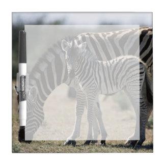 Namibia, Etosha National Park, Plain Zebra 1 Dry Erase Board