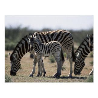 Namibia, Etosha National Park, Plain Zebra 1 Postcard
