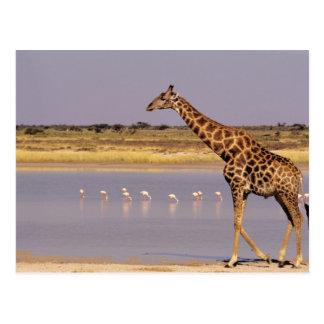 Namibia: Etosha National Park Postcard