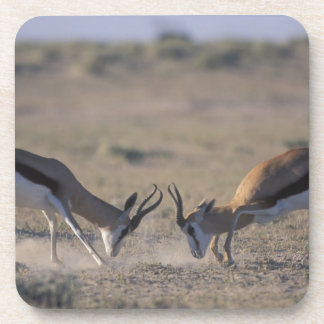 Namibia, Etosha National Park, Two male Drink Coaster