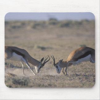 Namibia, Etosha National Park, Two male Mouse Pad