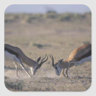 Namibia, Etosha National Park, Two male Square Sticker