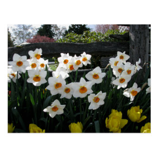 Narcissus and Wooden Fence Postcard