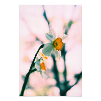 Narcissus Flowers - gentle white and yellow photog Art Photo