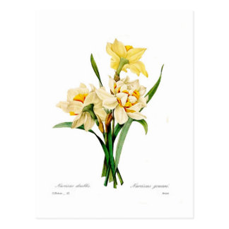Narcissus gouani postcards