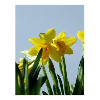 Narcissus   Postcard