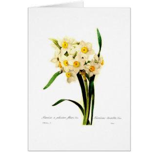 Narcissus tazetta.var greeting card