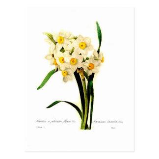 Narcissus tazetta.var postcard