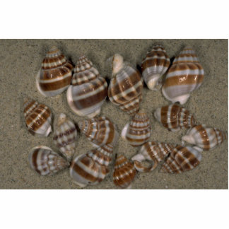 Nassarius stolatus Shell Cut Outs