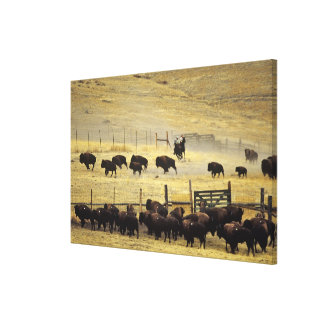 National Bison Range Roundup in Montana Canvas Print