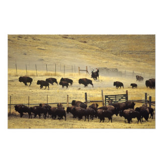 National Bison Range Roundup in Montana Photograph