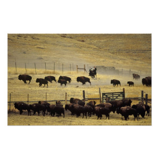 National Bison Range Roundup in Montana Print