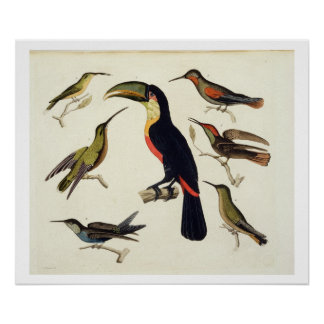Native birds, including the Toucan (centre), Amazo Poster