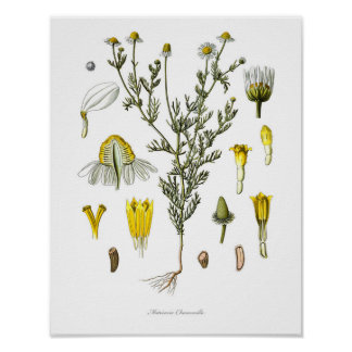 Nature,botanical print,flower art of Chamomile Poster