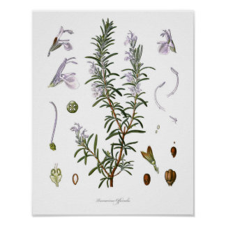 Nature,botanical print,flower art of Rosemary Poster