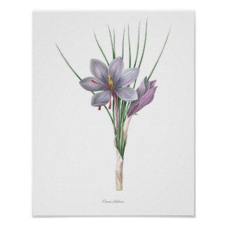 Nature,botanical print,flower art of Saffron Poster