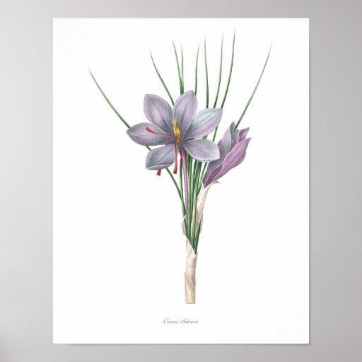 Nature,botanical print,flower art of Saffron Poster