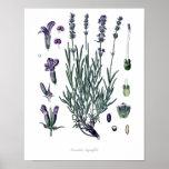 Nature,botanical print,flower art of True Lavender Poster