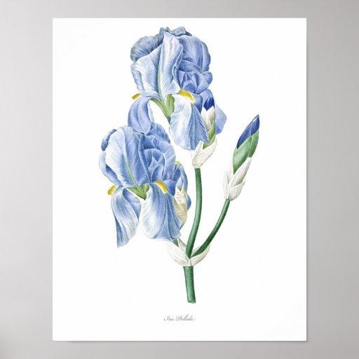 Nature,botanical print,flower art poster of Iris