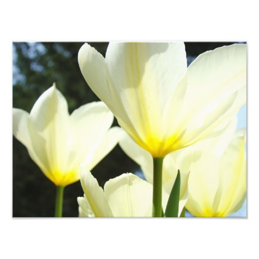 Nature Floral Photography Tulip Flowers art prints Art Photo