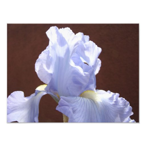 Nature Photography art prints Blue Iris Flowers Photographic Print