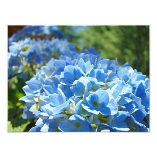 Nature Photography Blue Hydrangea Floral Office Photo Print