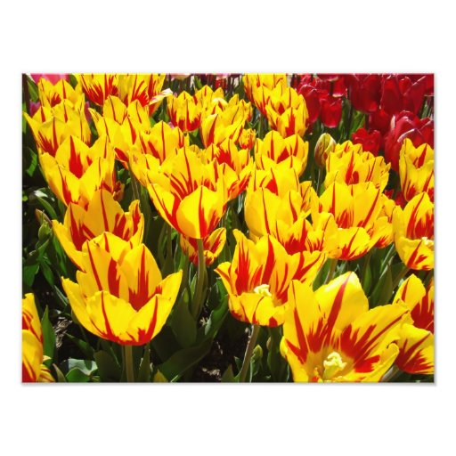 Nature Photography prints Yellow Red Tulips Floral Photographic Print