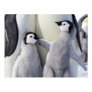 Naughty Emperor Penguin Chick Postcard
