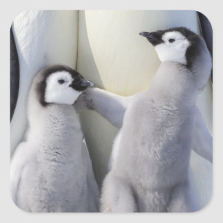 Naughty Emperor Penguin Chick Square Sticker