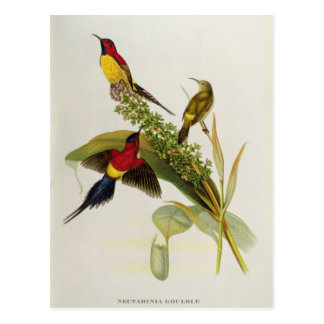 Nectarinia Gouldae Postcard