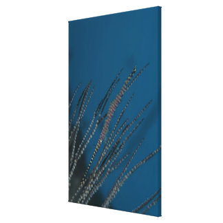 Needle shrimp (Tozeuma armatum) underwater Canvas Print