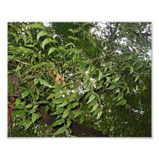Neem tree Azadirachta indica Photo Print