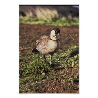 Nene Goose (Hawaiian goose) Print