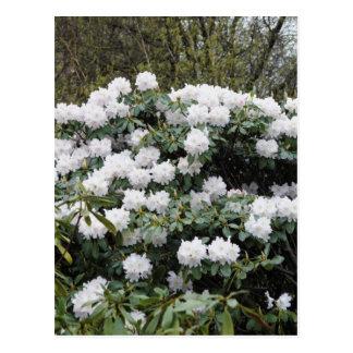 Nepalese Viburnum Grandiflorum 'Snow White' flower Postcard