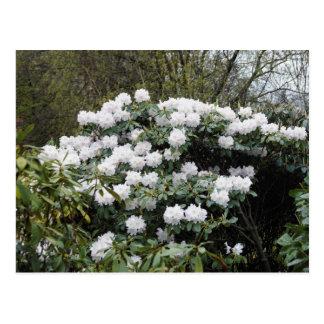 Nepalese Viburnum Grandiflorum 'Snow White' flower Post Cards