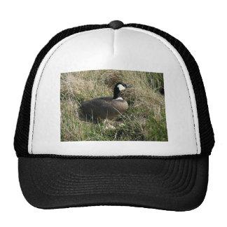 Nesting cackling Canada goose Cap