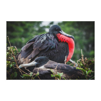 Nesting Frigate Bird pair Stretched Canvas Prints