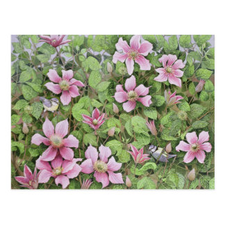 Nesting in Clematis Postcard