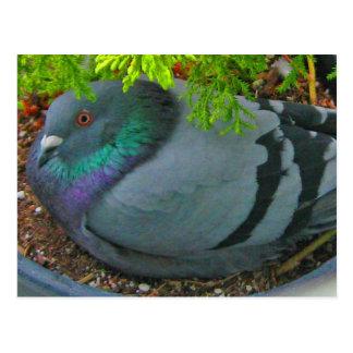Nesting Pigeon Postcard