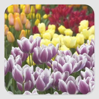 Netherlands aka Holland), Lisse. Keukenhof 3 Square Sticker