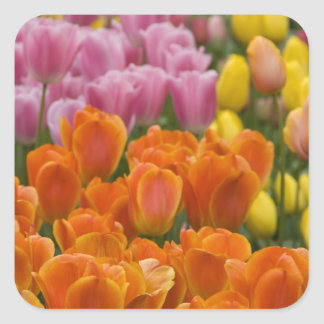 Netherlands aka Holland), Lisse. Keukenhof 4 Square Sticker