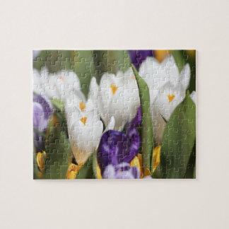 Netherlands, Keukenhoff Gardens, Tulips. Jigsaw Puzzle