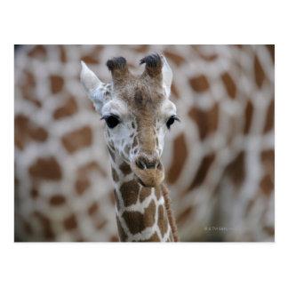 Netzgiraffe, Giraffa camelopardalis reticulata Postcard