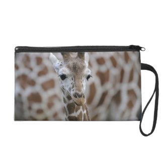Netzgiraffe, Giraffa camelopardalis reticulata Wristlet