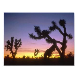 NEVADA. USA. Joshua trees Yucca brevifolia) Photo Print