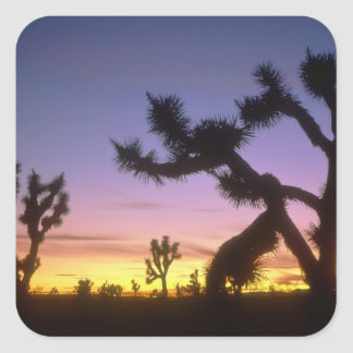 NEVADA. USA. Joshua trees Yucca brevifolia) Square Sticker
